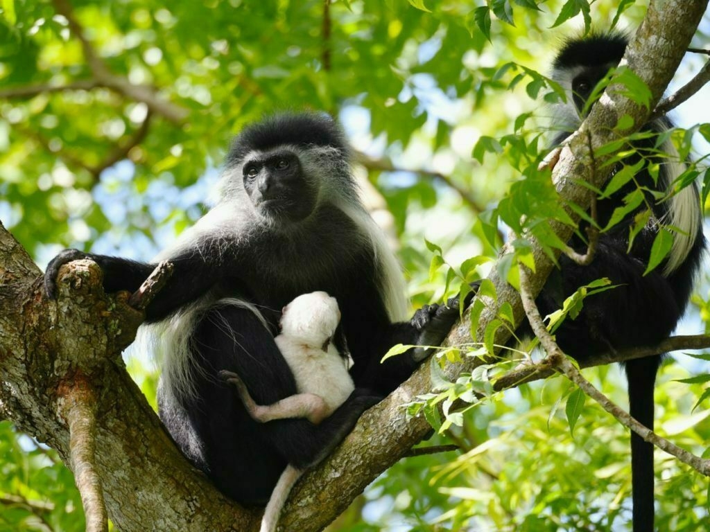 Colobus Conservation Diani