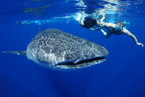 Whale-Shark-Safari-Diani